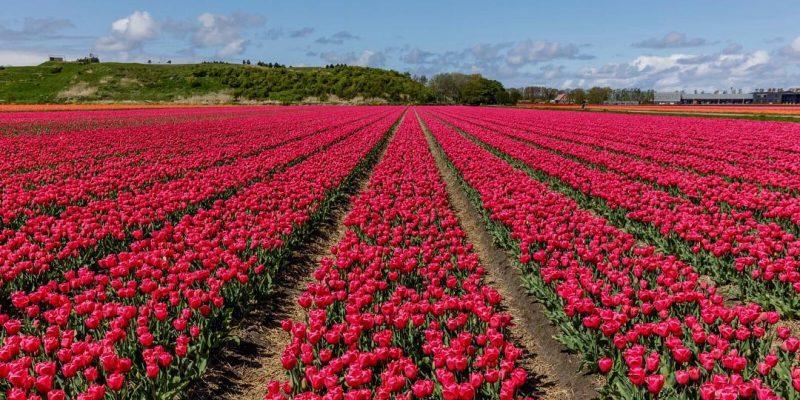 поля розовых тюльпанов