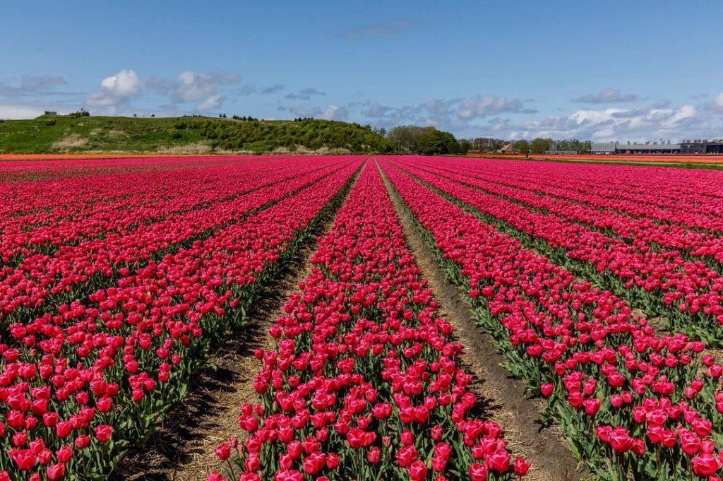 Парк цветов в Голландии Кекенхоф