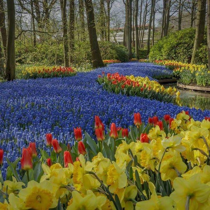 rivers-of-tulip