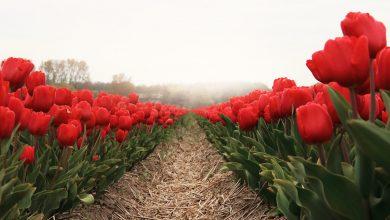 история тюльпанов в голландии